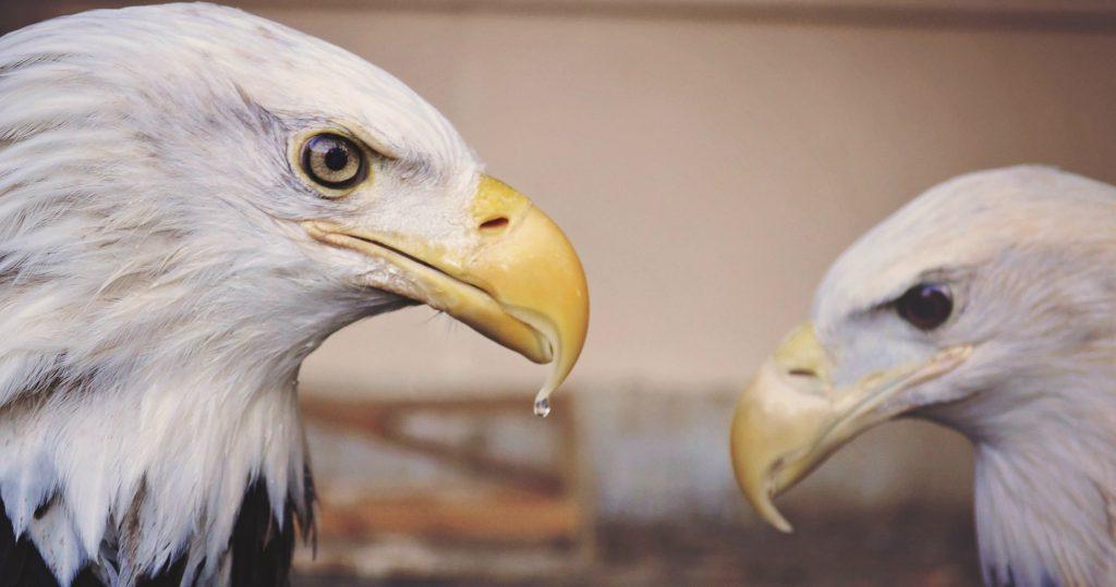 eagle-1245681_1920 a